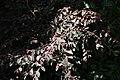 Loropetalum chinensis var. rubrum 1zz.jpg