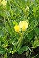 Lotus maritimus kz03.jpg