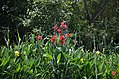 Lovely canna flowers growing by the lakeside (36474417841).jpg