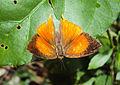 Loxura atymnus - Yamfly 34.JPG