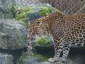 Luipaard - Panthera pardus.jpg