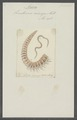 Lumbricus armiger - - Print - Iconographia Zoologica - Special Collections University of Amsterdam - UBAINV0274 102 12 0003.tif