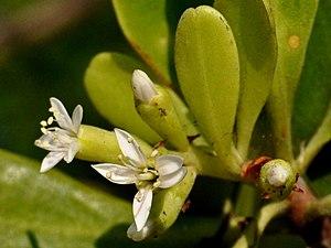 Lumnitzera - Lumnitzera racemosa, Indonesia