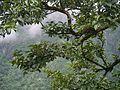 Lyonia ovalifolia (7786997676).jpg