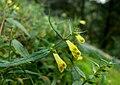 Mélampyre des prés (Melampyrum pratense)FL7flower.jpg