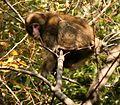Macaca fuscata in Mount Tado.jpg