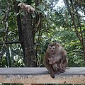 Macaque Monkeys from Monkey Hill, Phuket, Thailand (45296838685).jpg