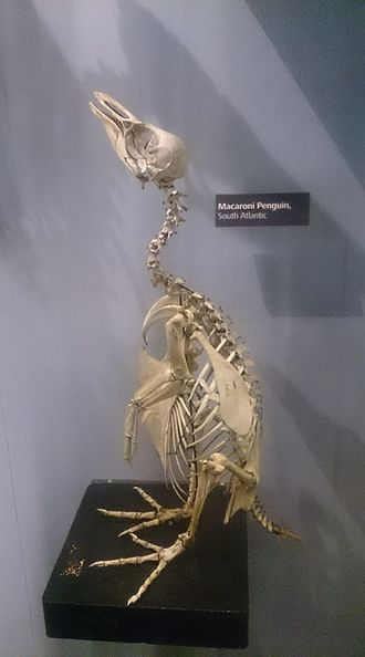 Macaroni penguin - A skeleton on display in Manchester Museum