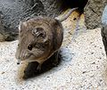 Macroscelides proboscideus -Zoo Frankfurt 1.jpg