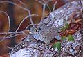 Madagascan Collared Iguana (Oplurus cuvieri) (9578500212).jpg