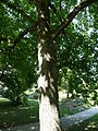 Magnolia acuminata 01 by Line1.jpg