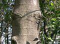 Magnolia grandiflora4.jpg