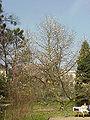 Magnolia kobus borealis0.jpg
