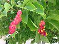 Magnolia kobus ripen seeds.jpg