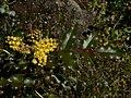 Mahonia aquifolium 37895.JPG