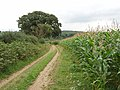 Maize by bridleway near Handy Cross - geograph.org.uk - 946405.jpg