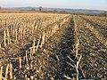 Maize stubble on brashy soil, Preston, Wilts - geograph.org.uk - 698293.jpg