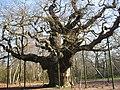 Major Oak, Sherwood Forest - geograph.org.uk - 1198271.jpg