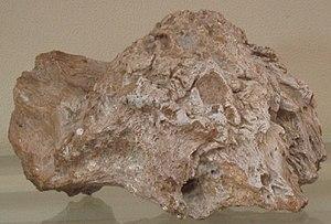 Majungasaurus - Type specimen of Majungatholus atopus: a Majungasaurus frontal horn misidentified as a pachycephalosaur dome (MNHN.MAJ 1)