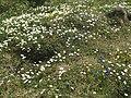 Malá Fatra, kvety v júni (5).jpg
