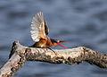 Malachite Kingfisher, Alcedo cristata at Marievale Nature Reserve, Gauteng, South Africa (14465235843).jpg