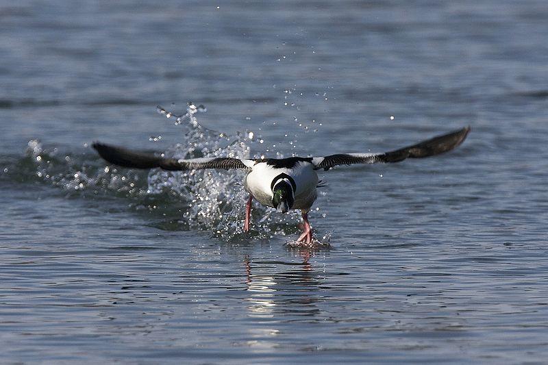 File:Male Bufflehead taking off.jpg