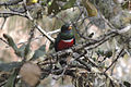Male Mountain Trogon (Trogon mexicanus).jpg