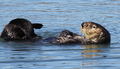 Male sea otter rubbing flippers and forepaws.png