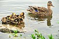 Mallard Hen and Brood (12793973465).jpg