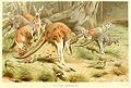 Mammals-02997 Red Kangaroo (23528193195).jpg
