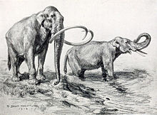 Drawing of a pair of mammoths; one has short tusks, and the other's are long and curved.
