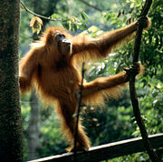 Sumatran Orangutan at the orangutan rehabilitation center in Bukit Lawang