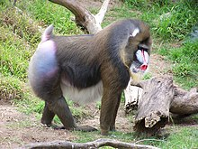Mandrill at san francisco zoo.jpg
