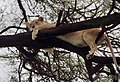 Manyara lion JF2.jpg