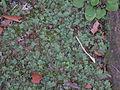 Marchantia inflexa — Scott Zona 001.jpg