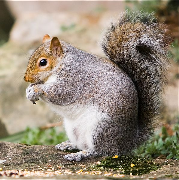 File:Markeaton Park squirrel 2.jpg