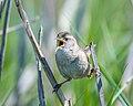 Marsh Wren (26264307607).jpg