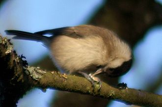 Tit (bird) - Hold-hammering is a common way for the family to deal with food items.