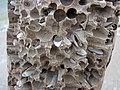Martesia striata bivalves in wood borings (driftwood on marine beach, Cayo Costa Island, Florida, USA) 3 (23749105104).jpg