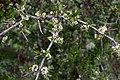 Matagouri (Discaria toumatou) in flower.jpg