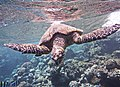 Meeresschildkröte Bissa.Морская черепаха Бисса (Eretmochelys imbricata)..DSCF0438WI.jpg