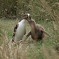 Megadyptes antipodes -Dunedin, New Zealand -adult feeding chick-8.jpg
