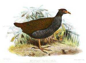 Orange-footed scrubfowl - M. r. macgillivrayi