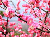 Notes: One of the first flowers to appear in Japan before Spring. Different species to the western plum.