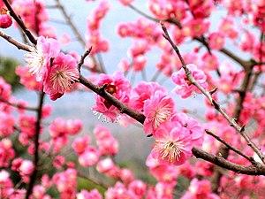 Blossom - Plum blossom
