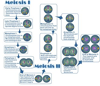 Reproduction - Image: Meiosis
