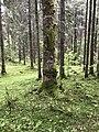 Melampsorella caryophyllacearum on trunk Italy.jpg