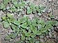 Melissa officinalis subsp. altissima 2018-05-06 1476.jpg