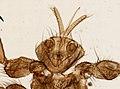 Melophagus ovinus (YPM IZ 093749).jpeg
