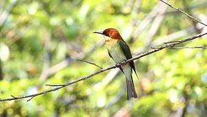 File:Merops leschenaulti - Kaeng Krachan.ogv
